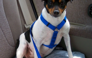 A dog sporting a car harness with a seatbelt adapter, for safer road travel.