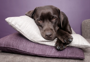 stockvault-labrador-dog-lying-on-pillows130868