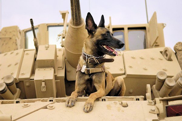 This military working dog is a Belgian Shepherd Malinois, shown resting on top of a tank. Military working dogs have served alongside human soldiers for hundreds of years.